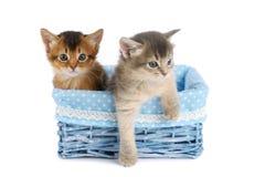 Δύο χαριτωμένα σομαλικά γατάκια που απομονώνονται στο άσπρο υπόβαθρο Στοκ Εικόνα