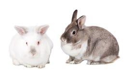 Δύο χαριτωμένα χνουδωτά bunnies Πάσχας Στοκ Εικόνες