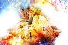Δύο χαριτωμένα cubs λιονταριών που παίζουν μαζί στο κοσμικό διάστημα Στοκ Φωτογραφίες