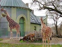 Δύο χαριτωμένα giraffes που απομονώνονται στο πράσινο υπόβαθρο οικοδόμησης zoo Μόναχο στοκ φωτογραφία με δικαίωμα ελεύθερης χρήσης