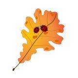 Δύο χαριτωμένα ladybugs στο δρύινο φύλλο φθινοπώρου Στοκ Εικόνες