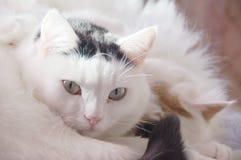 Δύο χαριτωμένες άσπρες γάτες Στοκ Εικόνες
