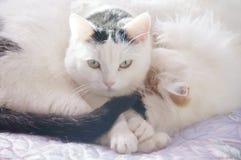 Δύο χαριτωμένες άσπρες γάτες Στοκ Εικόνα