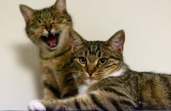 Δύο χαριτωμένες γάτες που κοιτάζουν επίμονα στη κάμερα στοκ φωτογραφίες με δικαίωμα ελεύθερης χρήσης