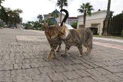 Δύο χαριτωμένες γάτες που περπατούν παιχνιδιάρικα κατά μήκος της οδού της νότιας πόλης Φωτογραφισμένος στο smartphone στοκ φωτογραφία