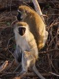Δύο χαριτωμένοι πίθηκοι Vervet σε ένα αφρικανικό εθνικό πάρκο Στοκ εικόνα με δικαίωμα ελεύθερης χρήσης