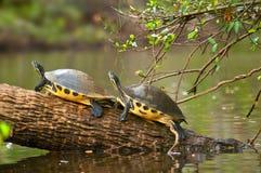 Δύο χελώνες στοκ φωτογραφίες με δικαίωμα ελεύθερης χρήσης