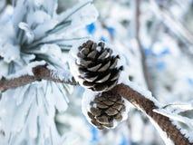 Δύο χιονισμένοι κώνοι πεύκων σε έναν κλάδο Στοκ Εικόνες