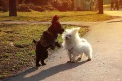 Δύο χνουδωτά κουτάβια που και που χαράζουν το ένα το άλλο στο πάρκο μια ηλιόλουστη ημέρα Στοκ Εικόνα