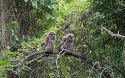 Δύο χνουδωτά owlets (κουκουβάγιες μωρών) Στοκ Φωτογραφία