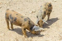 Δύο χοίροι σε ένα αγρόκτημα σε Aljezur Στοκ Εικόνες