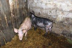Δύο χοίροι στο βοοειδές-υπόστεγο στο αγρόκτημα στοκ εικόνες