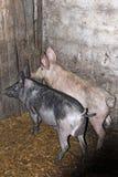 Δύο χοίροι στο βοοειδές-υπόστεγο στο αγρόκτημα στοκ εικόνες με δικαίωμα ελεύθερης χρήσης