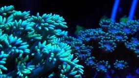 Δύο χρωματισμένα πλοκάμια κοραλλιών Goniopora απόθεμα βίντεο