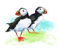 Δύο χρωματισμένο χέρι watercolor puffins στο υπόβαθρο χλόης διανυσματική απεικόνιση