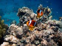 Δύο ψάρια anemone Ερυθρών Θαλασσών Στοκ φωτογραφία με δικαίωμα ελεύθερης χρήσης