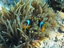 Δύο ψάρια anemone κλείνουν την άποψη Στοκ Εικόνες