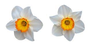 Δύο όμορφα άσπρα daffodils με ένα κίτρινο κέντρο στοκ φωτογραφία με δικαίωμα ελεύθερης χρήσης