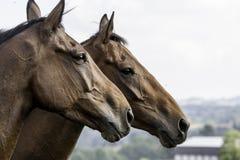 Δύο όμορφα άλογα κόλπων στο σχεδιάγραμμα Στοκ φωτογραφίες με δικαίωμα ελεύθερης χρήσης