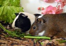 δύο όμορφα ινδικά χοιρίδια που τρώνε τα φρέσκα πράσινα στοκ εικόνες με δικαίωμα ελεύθερης χρήσης