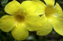 Δύο όμορφα κίτρινα λουλούδια με τις πτώσεις νερού Στοκ Φωτογραφία