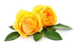 Δύο όμορφα κίτρινα τριαντάφυλλα στοκ εικόνα με δικαίωμα ελεύθερης χρήσης