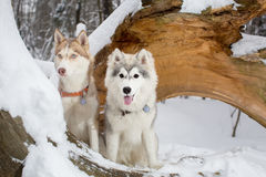 Δύο όμορφα νέα σκυλιά χιονώδη δασικό σε έναν γεροδεμένο κουτάβια Στοκ Εικόνες