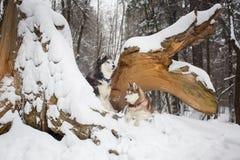 Δύο όμορφα σκυλιά χιονώδη δασικό σε έναν γεροδεμένο Στοκ Φωτογραφίες