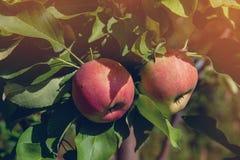 Δύο όμορφη κόκκινη Apple ένωση στον κλάδο ενός δέντρου μια ηλιόλουστη ημέρα πτώσης Στοκ εικόνες με δικαίωμα ελεύθερης χρήσης
