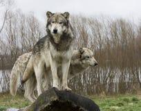 Δύο λύκοι σε ένα κούτσουρο Στοκ Εικόνες