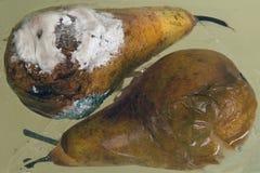 Δύο ώριμα αχλάδια: τα τεράστια φρούτα βρίσκονται το ένα δίπλα στο άλλο, σε μια άσπρη φόρμα αχλαδιών, σύγχρονο εσωτερικό σχέδιο τη Στοκ εικόνες με δικαίωμα ελεύθερης χρήσης