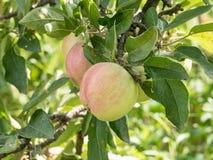Δύο ώριμα μήλα σε έναν κλάδο δέντρων μηλιάς σε έναν οπωρώνα Στοκ εικόνες με δικαίωμα ελεύθερης χρήσης