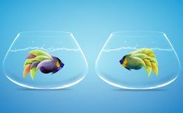 Δύο Angelfish σε δύο κύπελλα Στοκ Φωτογραφία