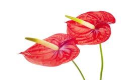 Δύο Anturie λουλούδι Στοκ φωτογραφίες με δικαίωμα ελεύθερης χρήσης