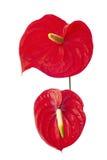 Δύο Anturie λουλούδι Στοκ εικόνα με δικαίωμα ελεύθερης χρήσης