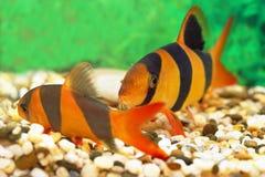 Δύο aquarian μικρά ψάρια Στοκ Φωτογραφίες