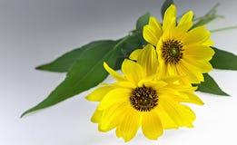 Δύο Arnica βοτανικά άνθη Στοκ φωτογραφίες με δικαίωμα ελεύθερης χρήσης