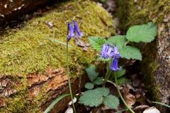 Δύο bluebells αυξάνονται στη δασώδη περιοχή από ένα mossy κούτσουρο στοκ φωτογραφία με δικαίωμα ελεύθερης χρήσης
