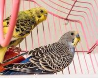Δύο budgies parakeets σε ένα ροζ κλουβιών Στοκ φωτογραφία με δικαίωμα ελεύθερης χρήσης
