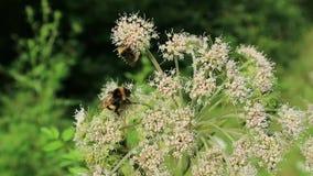 Δύο bumblebees φιλμ μικρού μήκους