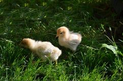 Δύο chicklings στον κήπο στοκ εικόνα με δικαίωμα ελεύθερης χρήσης