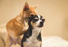 Δύο Chihuahuas σύνδεση στοκ εικόνες με δικαίωμα ελεύθερης χρήσης