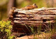 Δύο Chipmunks στο κούτσουρο Στοκ εικόνα με δικαίωμα ελεύθερης χρήσης