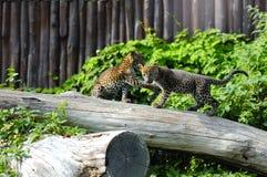 Δύο cubs ιαγουάρων στο παιχνίδι Στοκ φωτογραφία με δικαίωμα ελεύθερης χρήσης