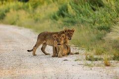 Δύο cubs λιονταριών διακόπτουν το παιχνίδι τους για να φανούν φωτογράφος Στοκ Εικόνα