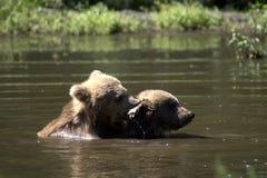 Δύο cubs στη λίμνη στοκ εικόνες με δικαίωμα ελεύθερης χρήσης
