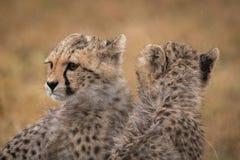 Δύο cubs τσιτάχ πρόσωπο στις αντίθετες κατευθύνσεις στοκ φωτογραφία με δικαίωμα ελεύθερης χρήσης