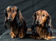 Δύο Dachshund σε ένα σκοτεινό υπόβαθρο Στοκ Φωτογραφίες
