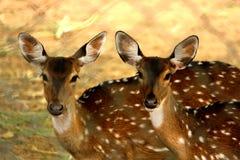 Δύο deers που κοιτάζουν στη κάμερα στοκ φωτογραφίες με δικαίωμα ελεύθερης χρήσης