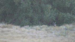 Δύο deers που περπατούν γύρω στο κρατικό πάρκο βουνών Palomar απόθεμα βίντεο